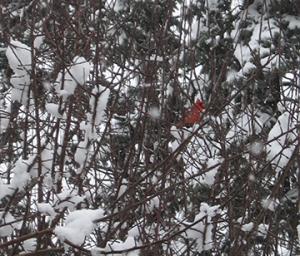 CardinalSnow